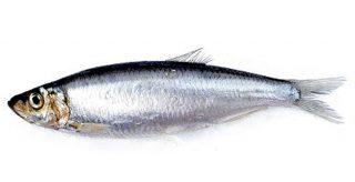 Elenco Completo Pesce Azzurro Dalla A Di Aguglia Alla S Di Sgombro