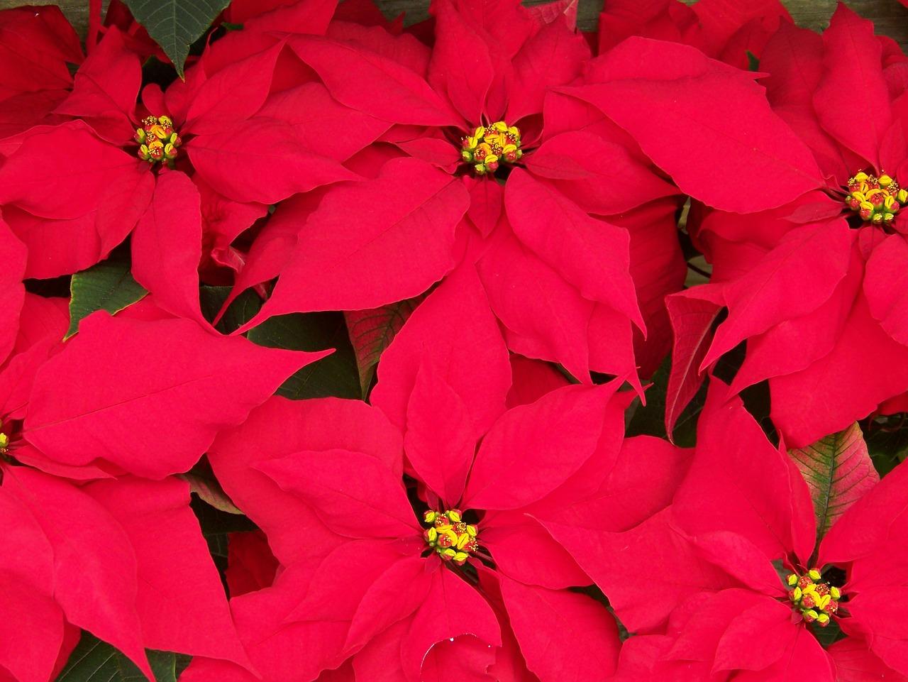 Stella Di Natale Fiore Cure.Stella Di Natale Cure E Curiosita Lacuocaignorante