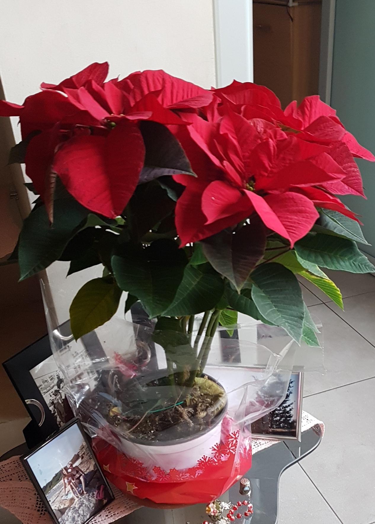 Stella Di Natale Pianta Come Mantenerla.Stella Di Natale Cure E Curiosita Lacuocaignorante
